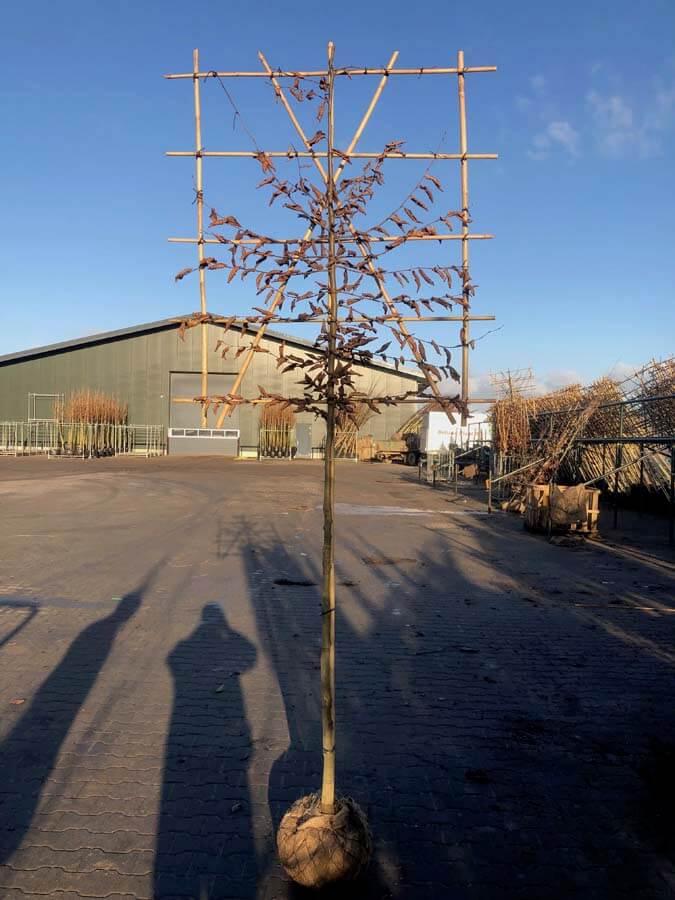 Carpinus Betulus / Haagbeuk