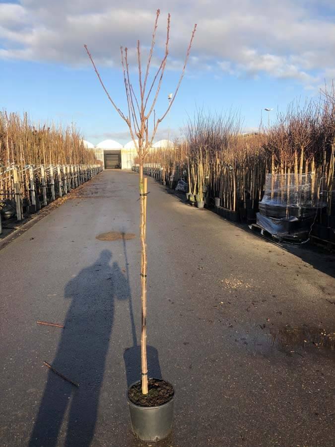 Prunus Serrulata 'Kanzan' / Japanse Sierkers (Halfstam)