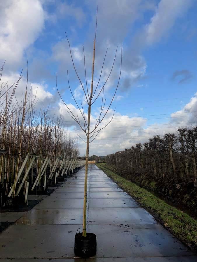 Acer Platanoides 'Drummondii'/ Bonte Esdoorn (Laanboom)
