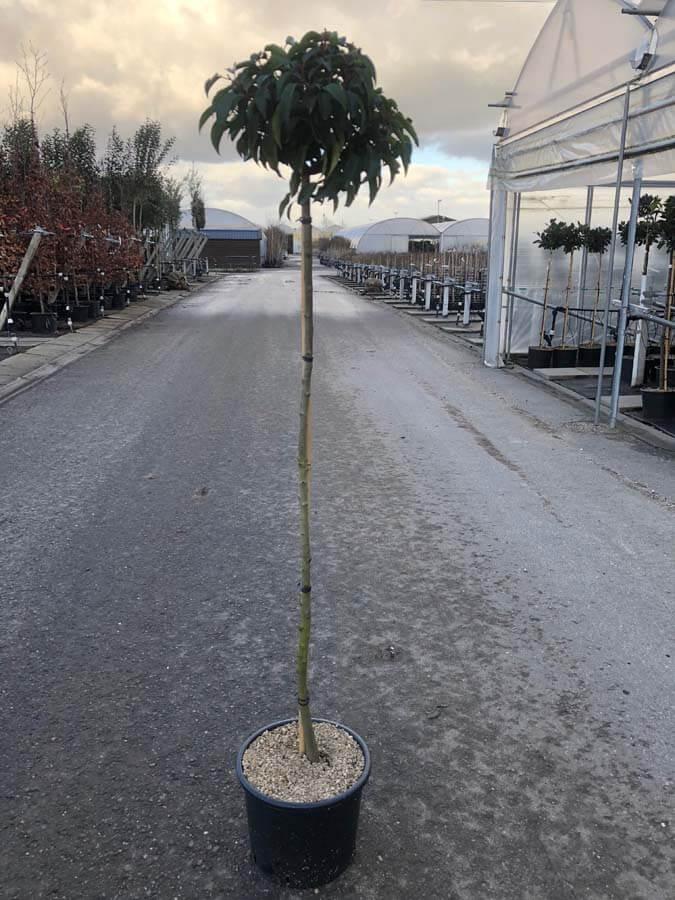 Prunus Lusitanica / Portugese Laurier