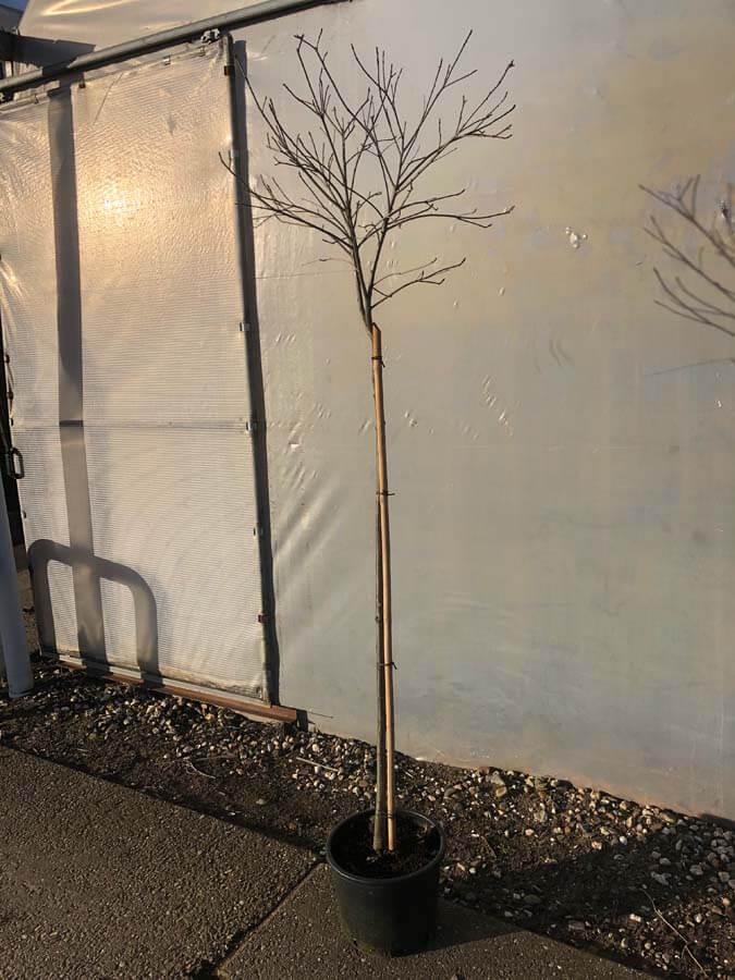 Quercus Palustris 'Green Dwarf'/ Bol Moeraseik