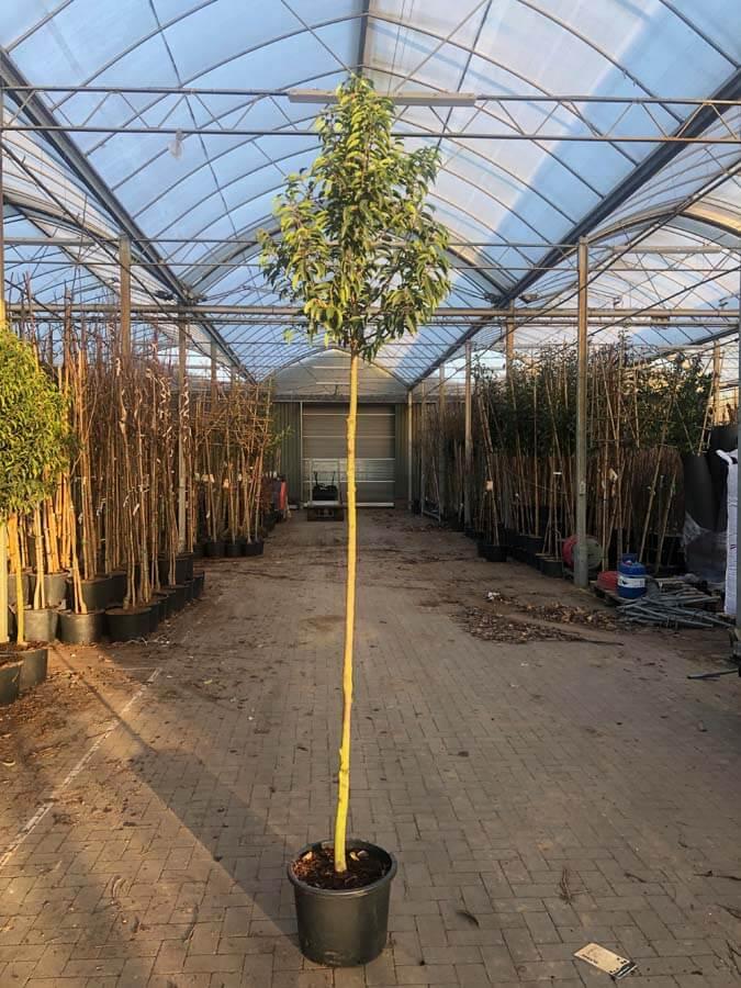 Prunus Lusitanica / Portugese Laurier (Groenblijvende Bomen)