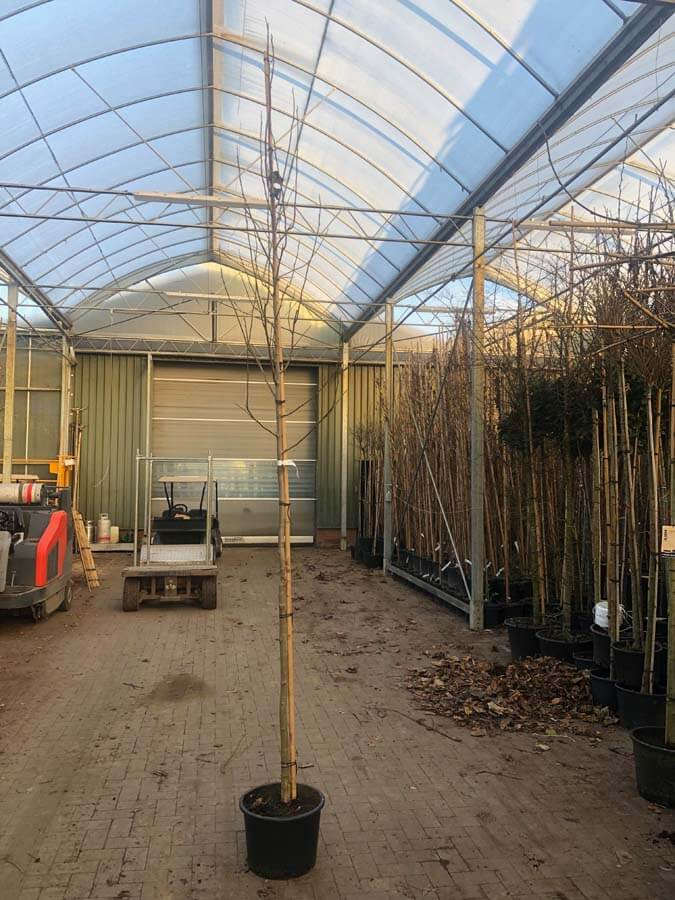Magnolia Kobus / Beverboom (Laanboom)