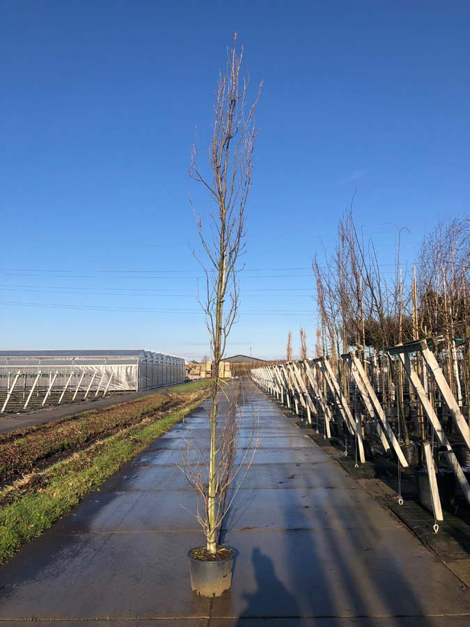 Quercus Robur 'Fastigiata' / Zuileik