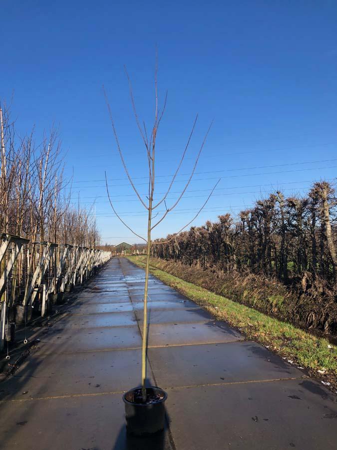 Acer Platanoides 'Royal Red'/ Rode Esdoorn (Laanboom)