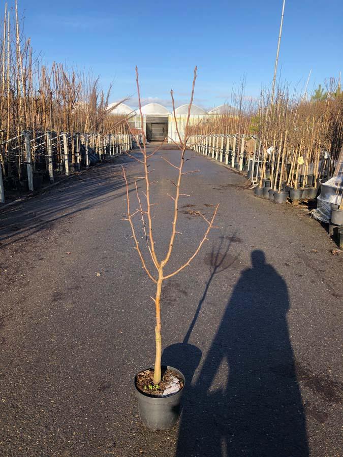 Malus Domestica / Appelboom