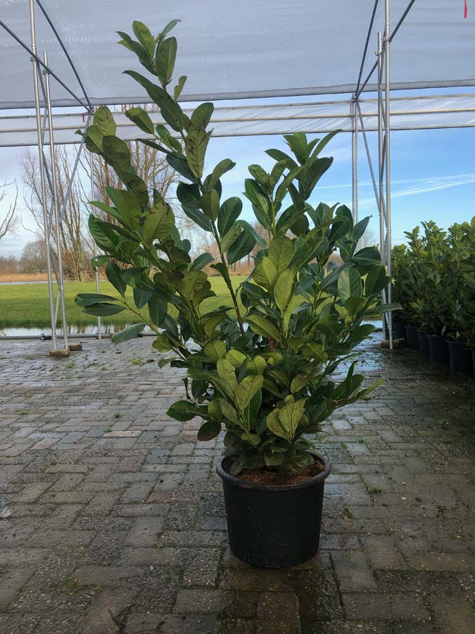 Prunus Laurocerasus 'Rotundifolia' / Laurierhaag