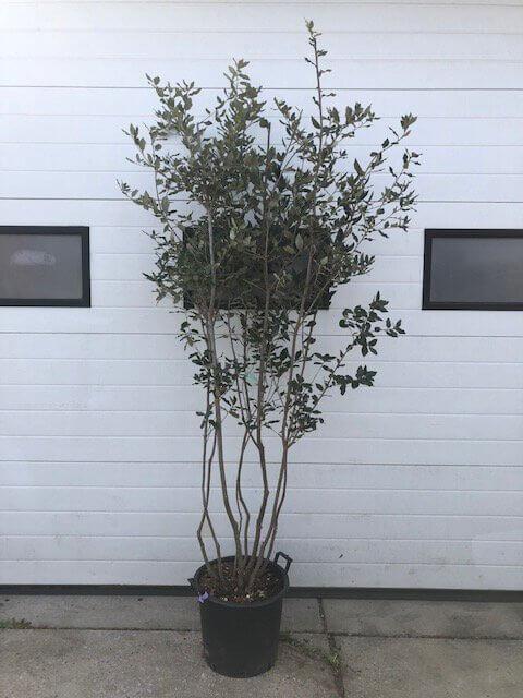 Quercus Ilex / Steeneik – Multistam (Meerstammige Bomen)