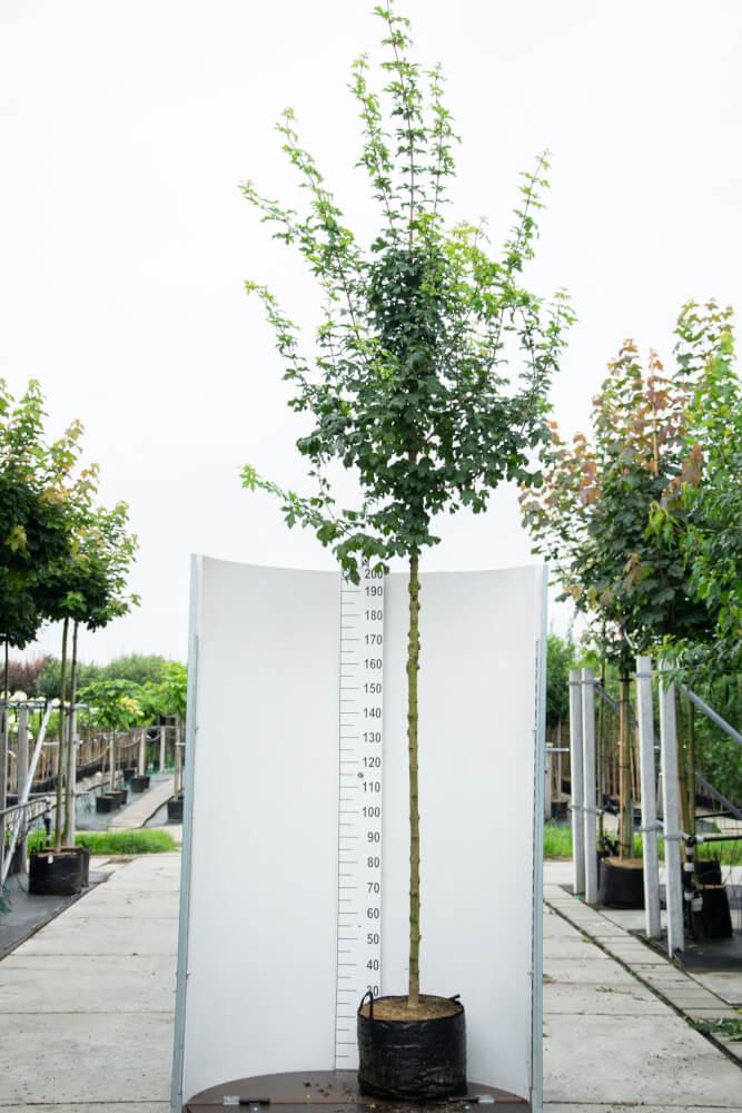 Acer Campestre 'Elsrijk' / Veld Esdoorn (Laanboom)
