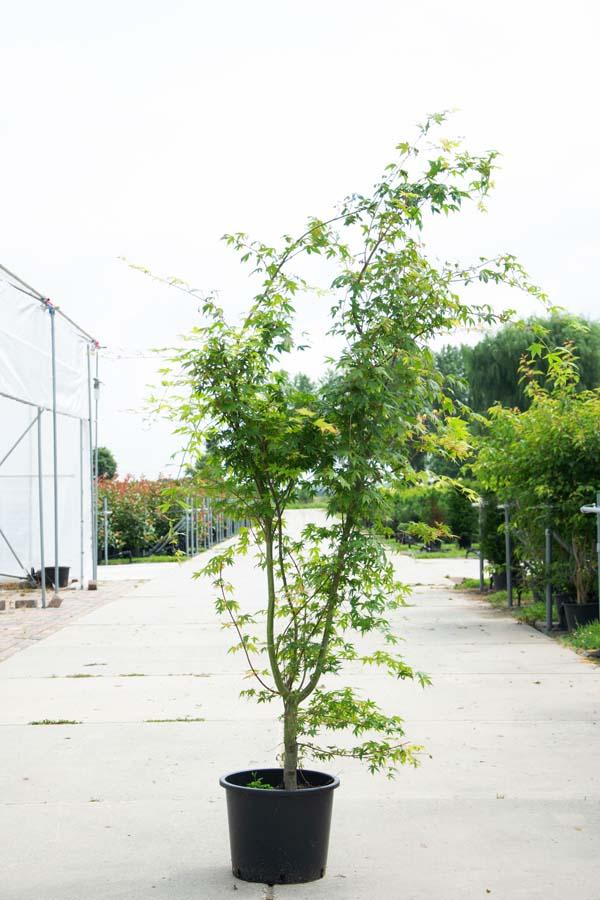 Acer Palmatum / Japanse Esdoorn  (Meerstammige Boom)