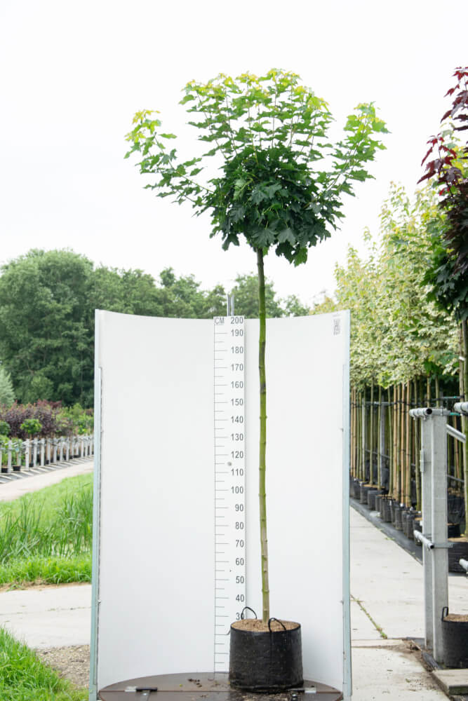 Acer Platanoides 'Globosum' / Bolesdoorn