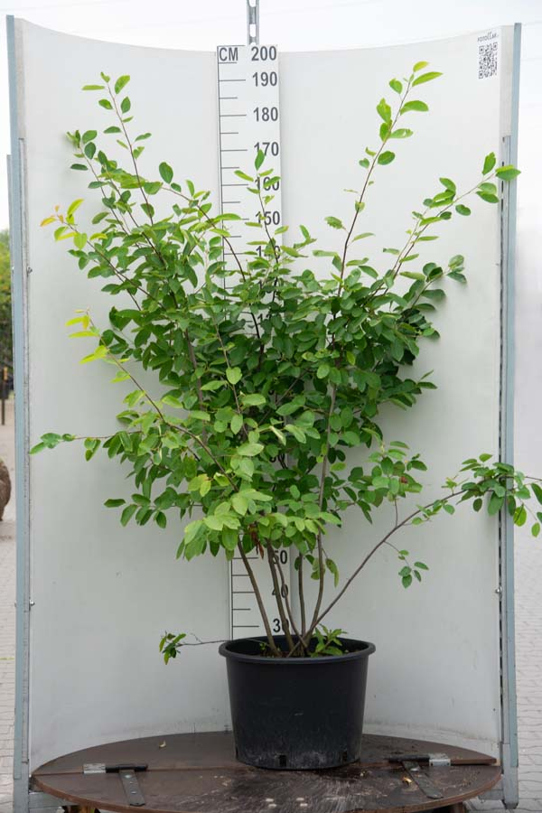Amelanchier Lamarckii / Krentenboom (Meerstammige Boom)