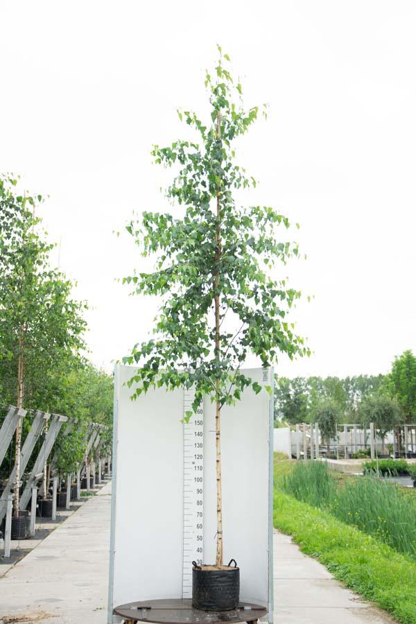 Betula Pendula / Ruwe Berk (Laanboom)