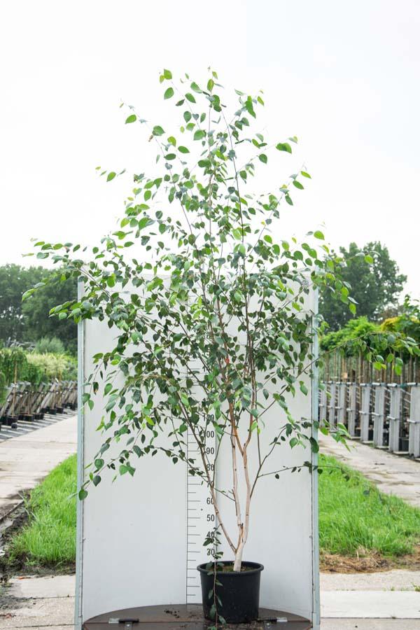 Betula Utilis 'Jacquemontii' / Witte Himalayaberk (Meerstammige Boom)