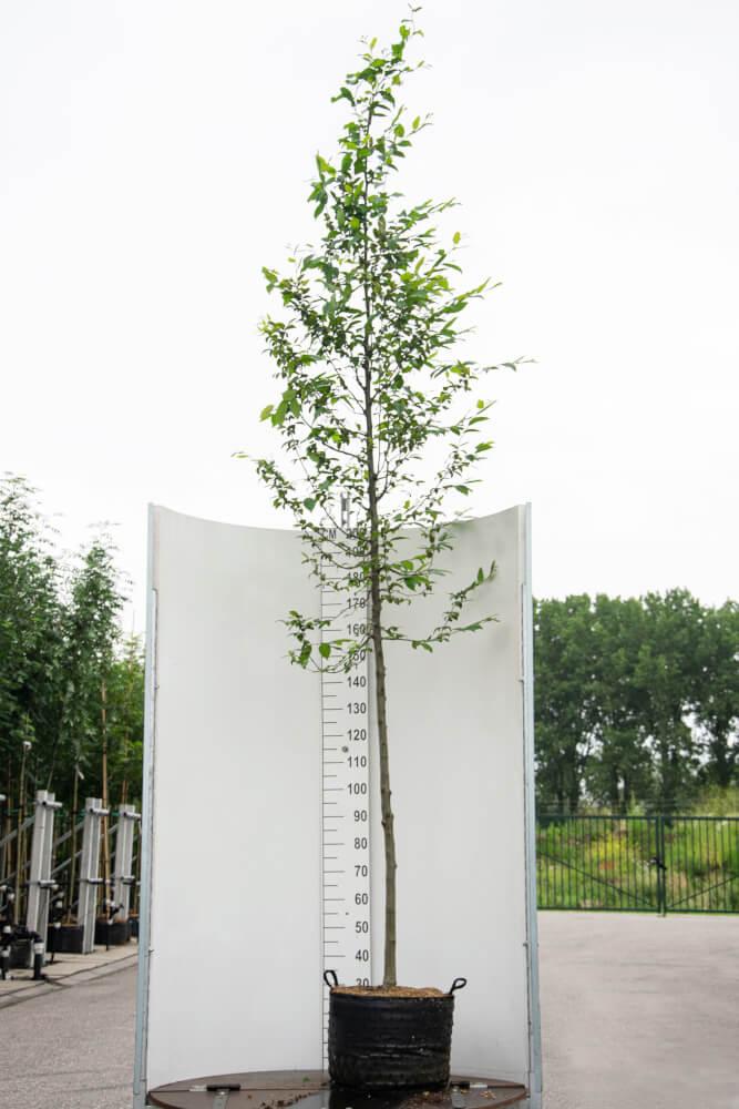 Carpinus Betulus / Haagbeuk (Laanboom)