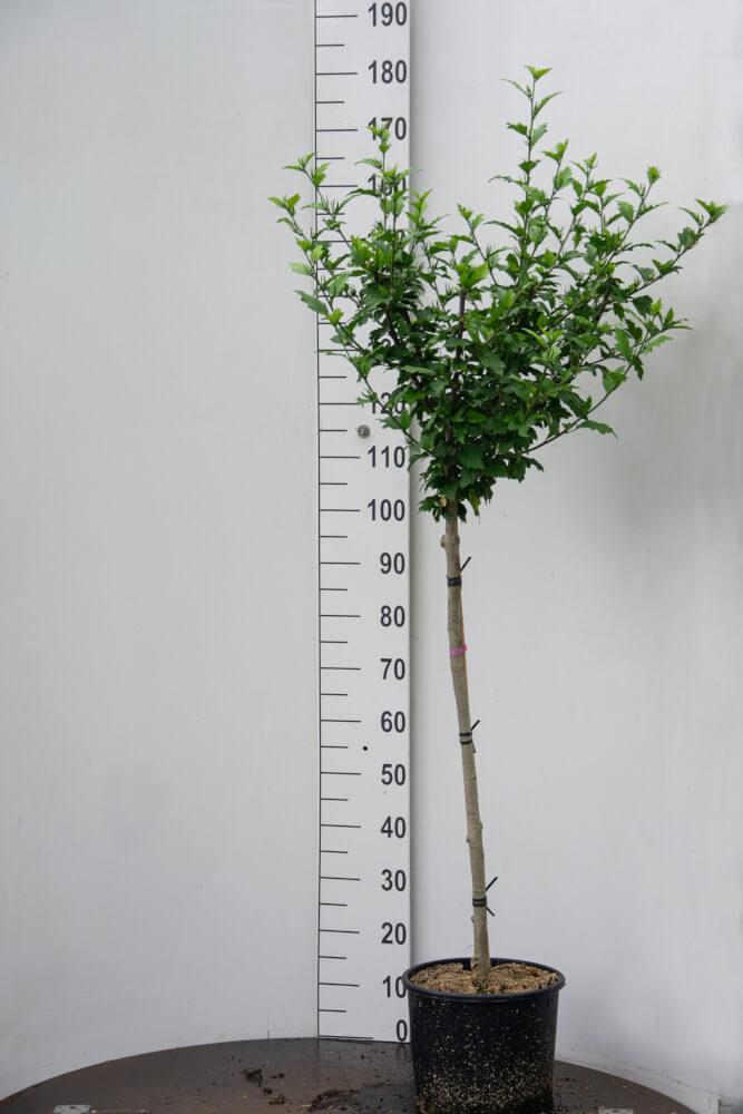 Hibiscus 'Marina' / Blauwe Tuinhibiscus (Halfstam)