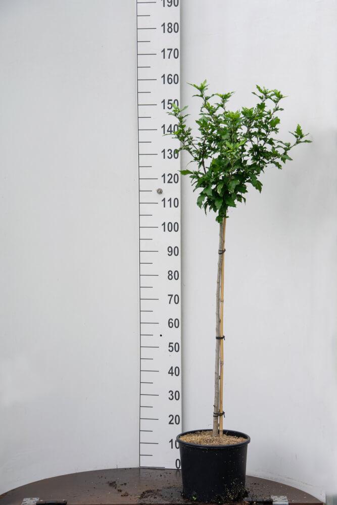 Hibiscus 'Syriacus' / Witte Tuinhibiscus (Halfstam)