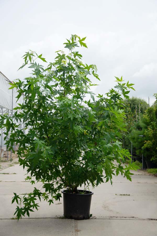 Liquidambar Styraciflua / Amberboom  (Meerstammige Boom)