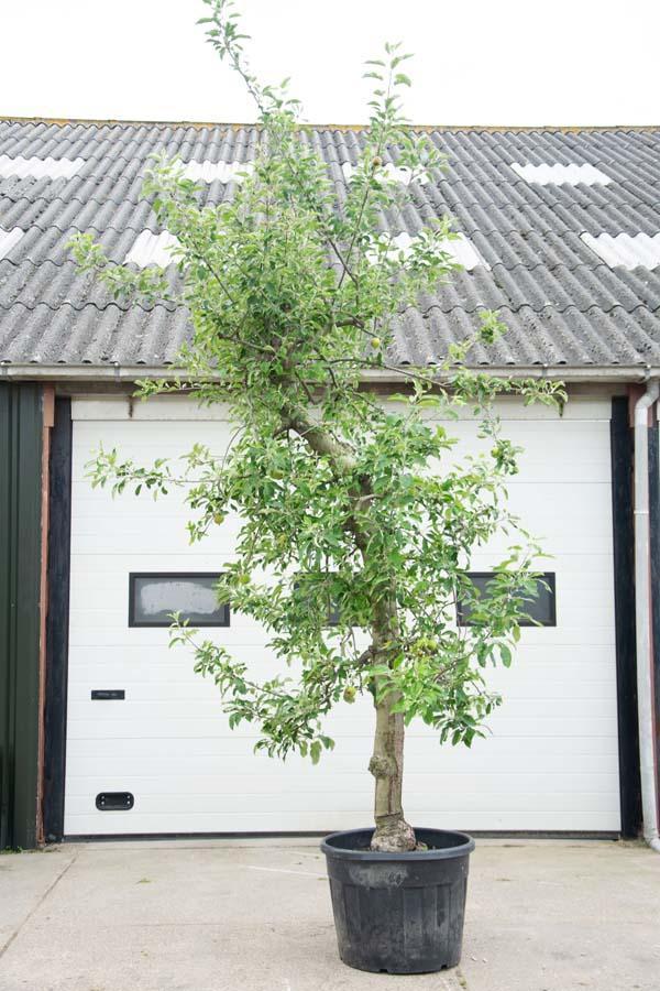 Malus Domestica Oud / Oude Appelboom