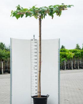 Morus platanifolia dakboom
