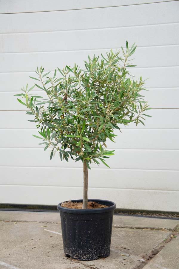 Olea Europaea/ Olijfboom (Halfstam)