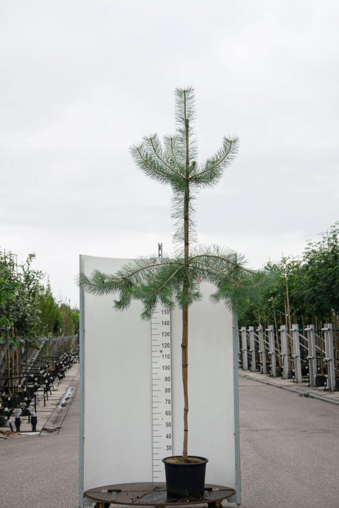 Pinus Sylvestris / Grove Den (Groenblijvende Bomen)