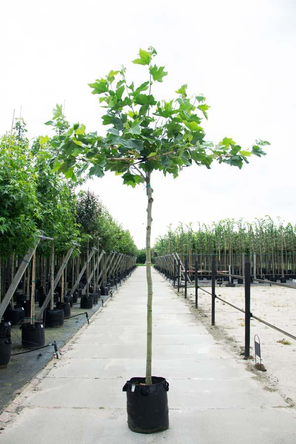 Platanus Acerifolia / Dakplataan