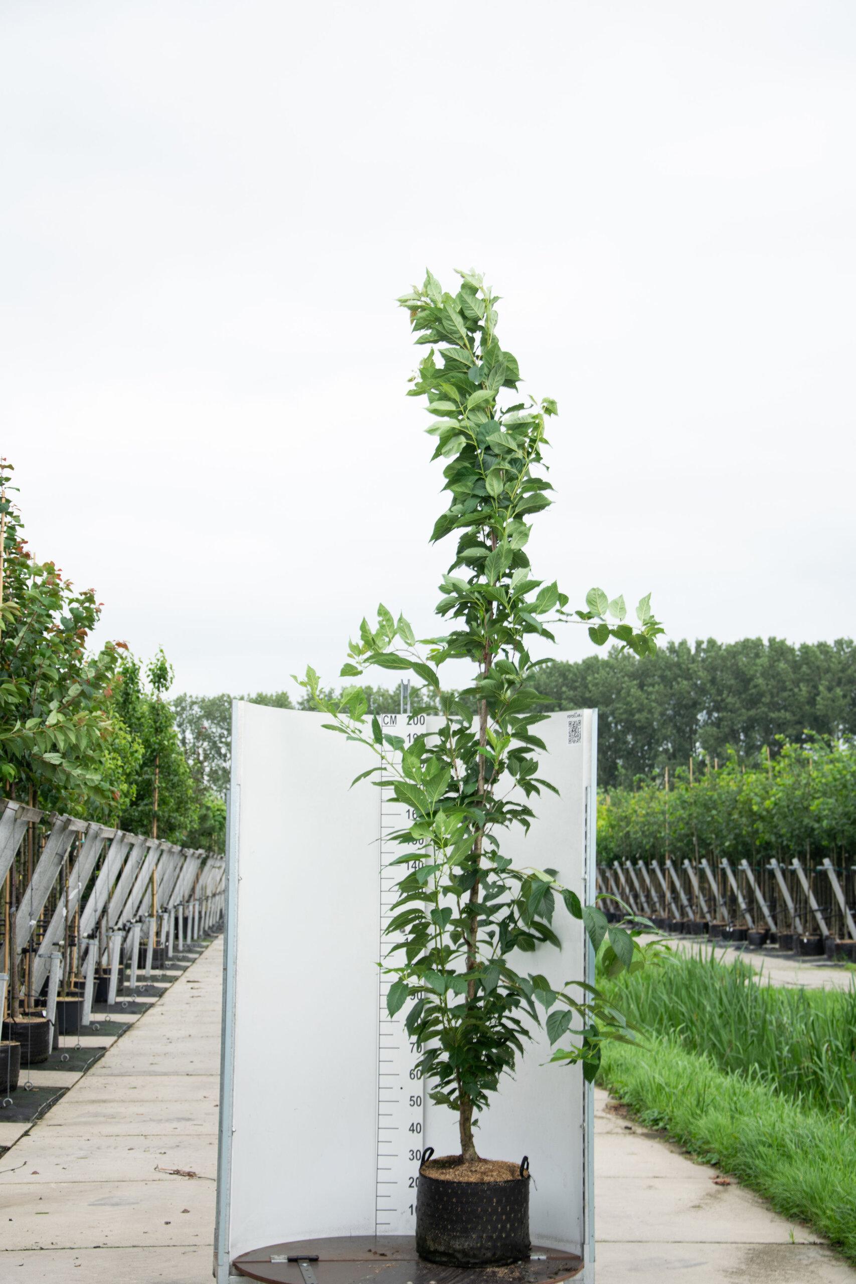 Prunus Serrulata 'Amanogawa' / Japanse Sierkers