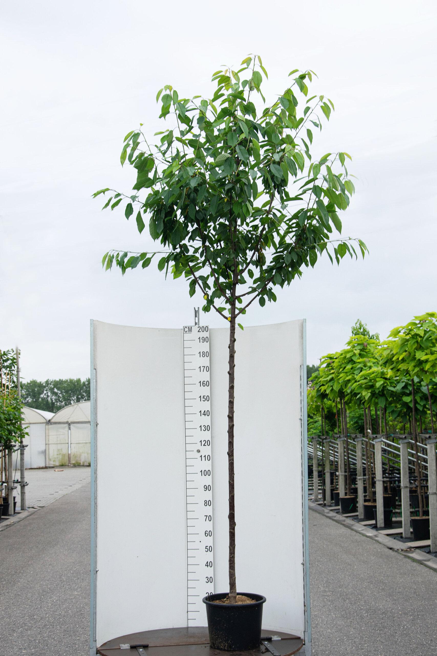 Prunus Avium / Zoete Kersenboom