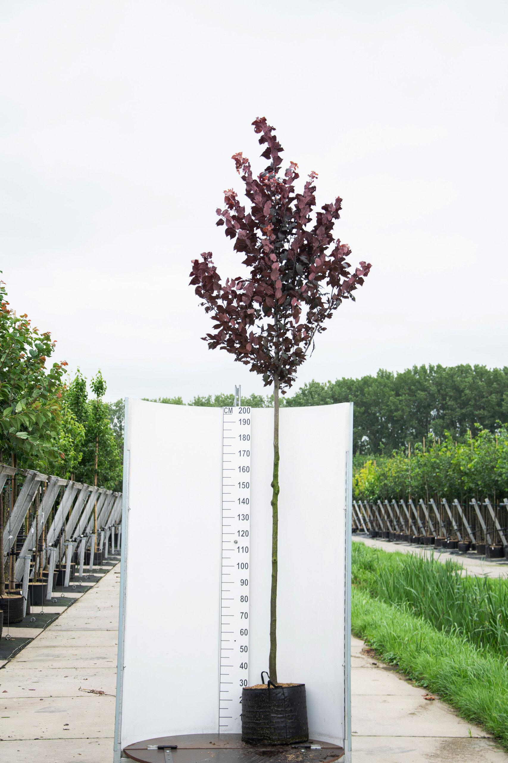 Prunus Cerasifera 'Nigra'/ Kerspruim (Laanboom)