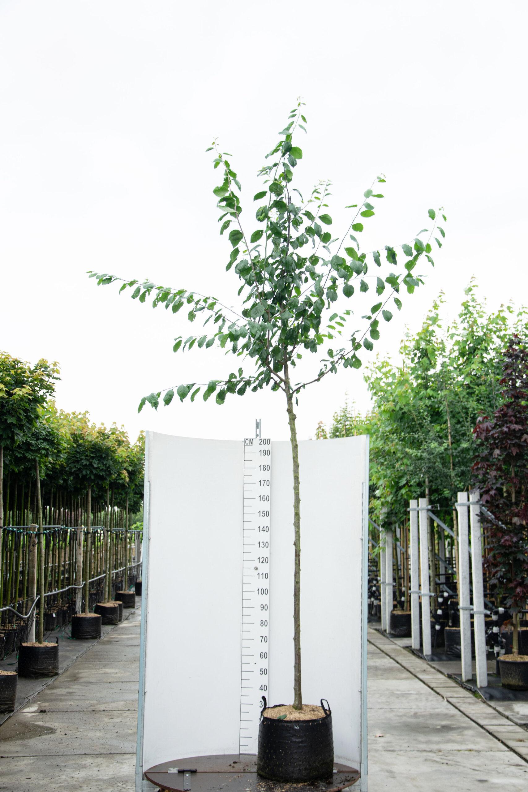 Prunus Domestica / Pruimenboom