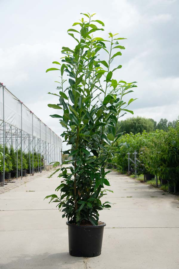 Prunus Laurocerasus 'Caucasica' / Laurierhaag