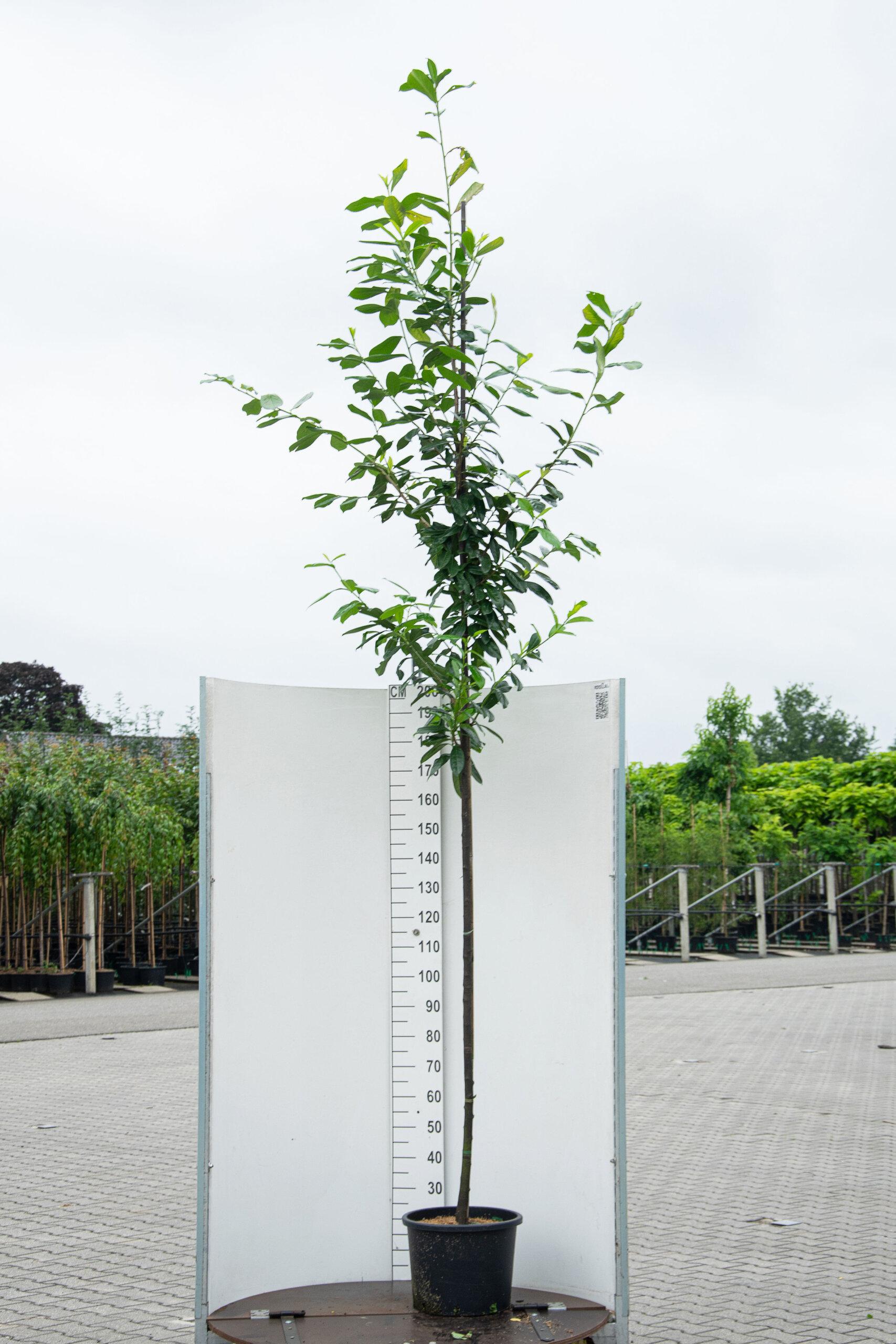 Prunus Laurocerasus 'Caucasica' / Laurier (Groenblijvende Bomen)