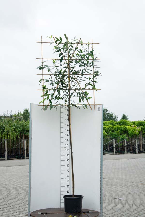 Prunus Laurocerasus / Laurierkers