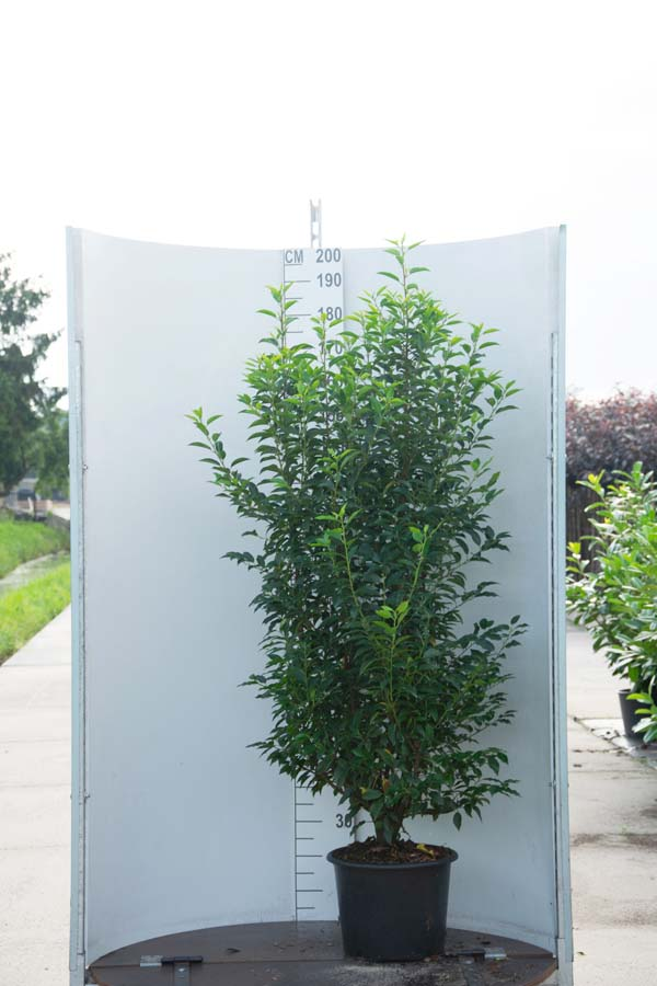 Prunus Lusitanica / Portugese Laurier (Haagplanten)