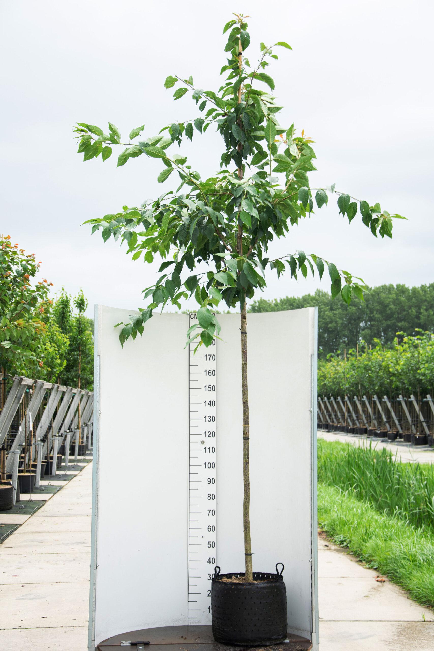 Prunus Serrulata 'Kanzan' / Japanse Sierkers (Laanboom)