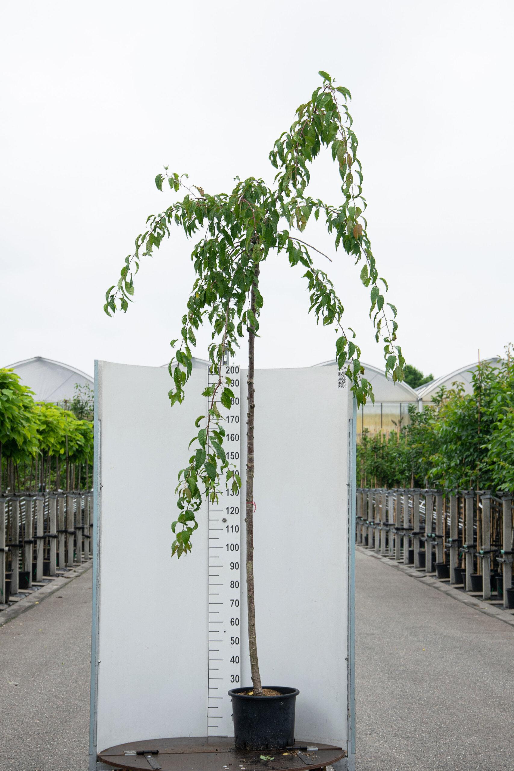 Prunus Serrulata 'Kiku-Shidare-Zakura' / Japanse Sierkers