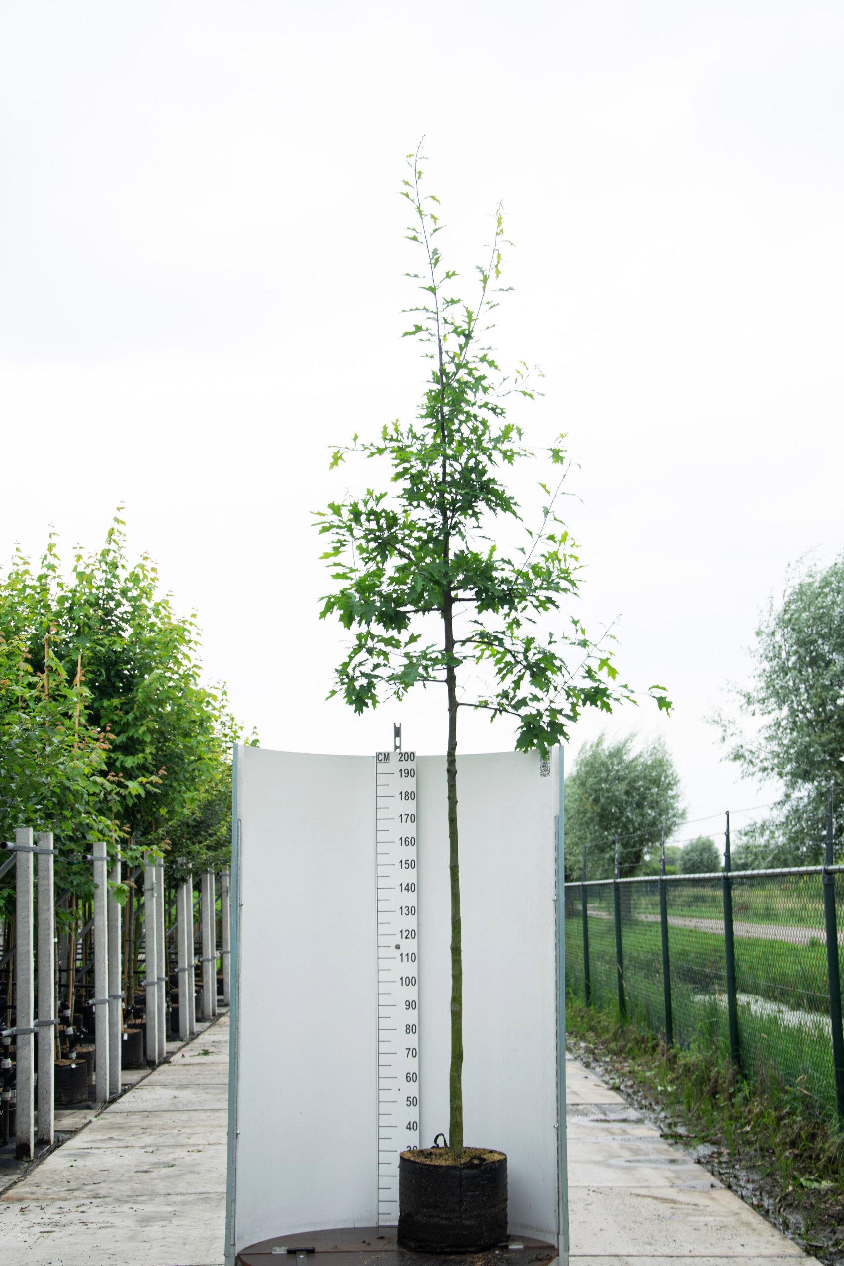 Quercus Palustris / Moeraseik (Laanboom)