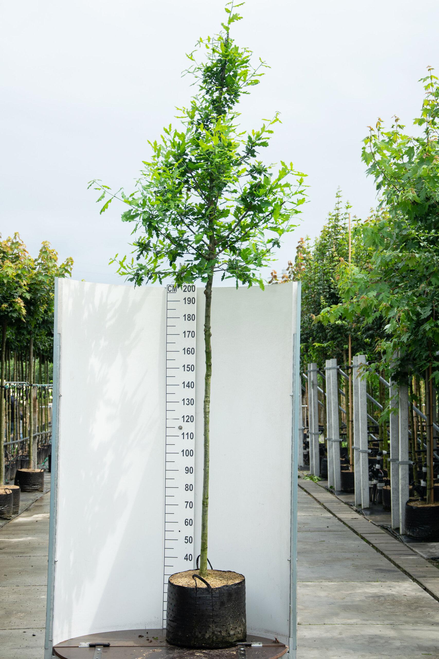 Quercus Robur / Zomereik (Laanboom)