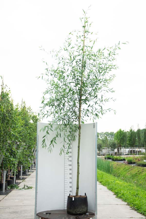 Salix Alba / Knotwilg – Witte Wilg (Laanboom)