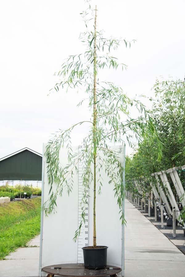 Salix Sepulcralis 'Chrysocoma' / Treurwilg