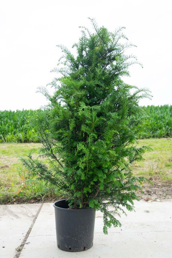 Taxus Baccata / Venijnboom