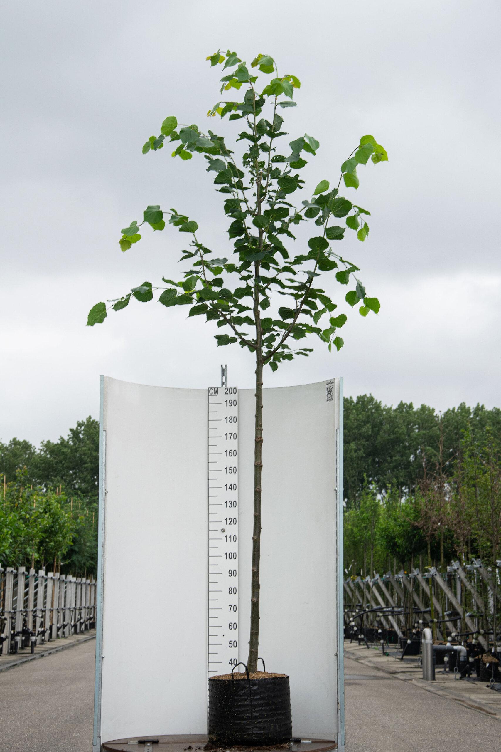 Tilia Europaea 'Pallida' / Koningslinde (Laanboom)