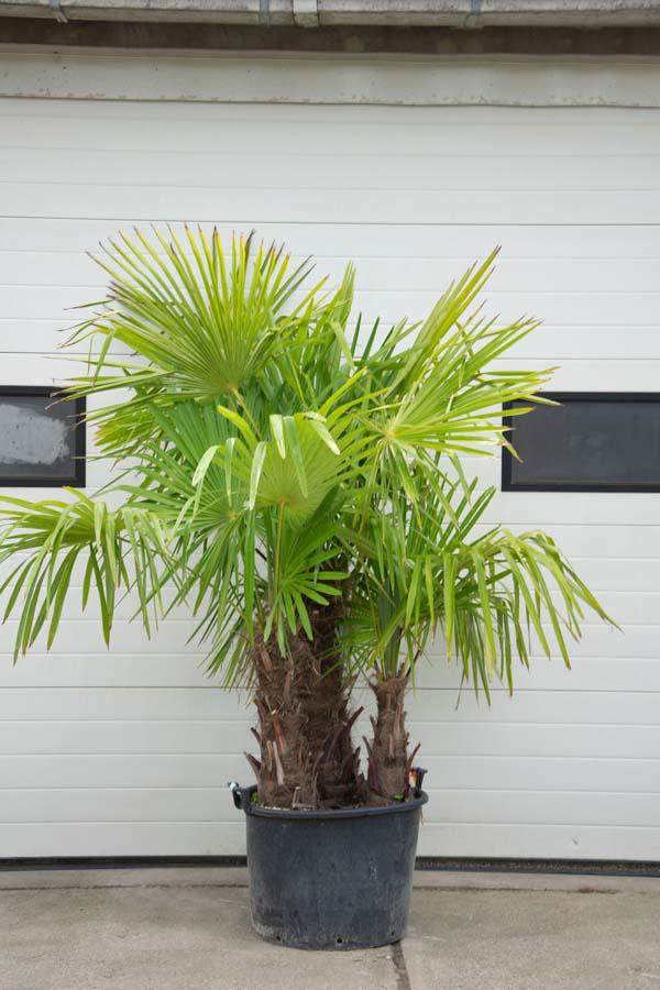 Trachycarpus Fortunei – Palmboom 4 Stammen (Meerstammige Bomen)